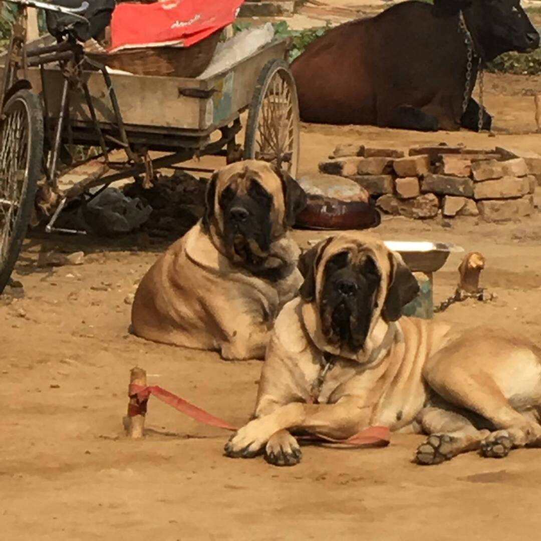 Dog for sale in Delhi