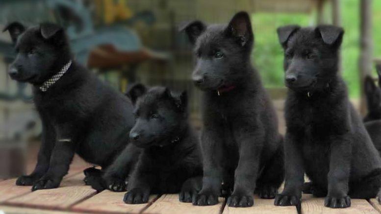 Best, Top, online, Lhasa Apso, Rottweiler, German Shepherd